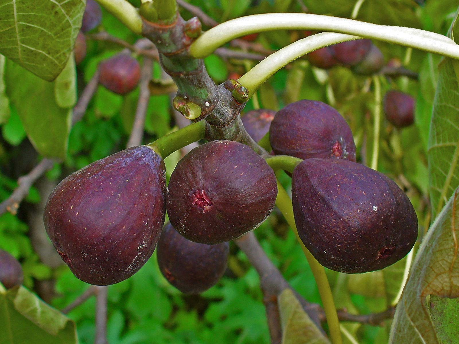Fig Tree - 'Texas Everbearing' - Fruiting Fig Tree - Ficus Carica