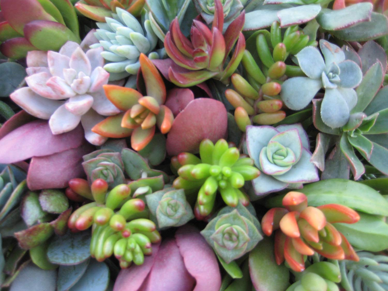 Live Succulent Cuttings 10-100 Assorted Varieties Beginners Succulents, Mini Gardens, and as Starter Plants (50) by The Valley Garden