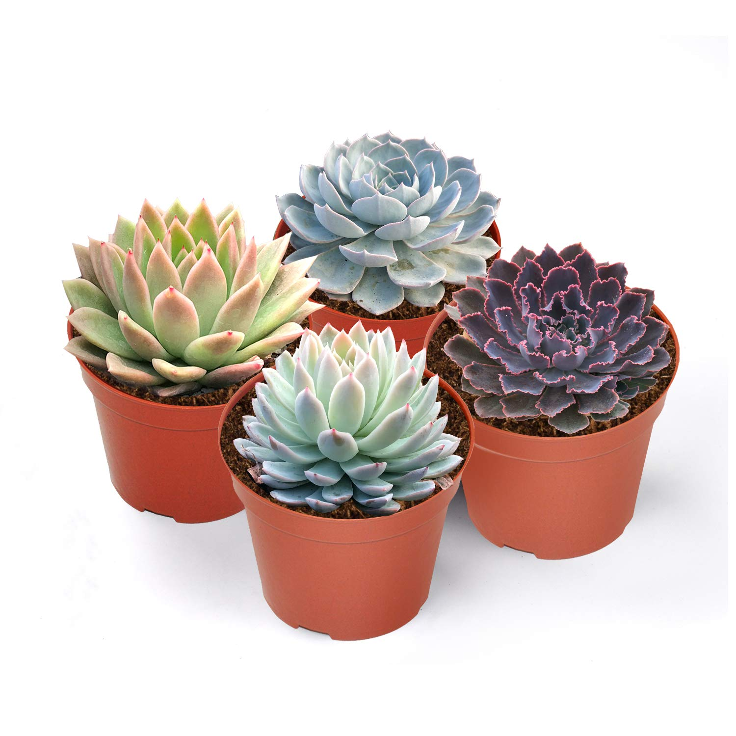 Premium Rosette Succulents, 4 Assorted Rooted Succulents in 4'' Planter Pots with Soil, Real Live Succulents Bonsai for Indoor Home Office Cactus Decor, Terrariums, Mini Garden