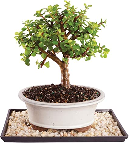 Amazon Com Brussel S Live Dwarf Jade Indoor Bonsai Tree 5 Years Old 8 To 12 Tall With Decorative Container Humidity Tray Deco Rock Garden Outdoor