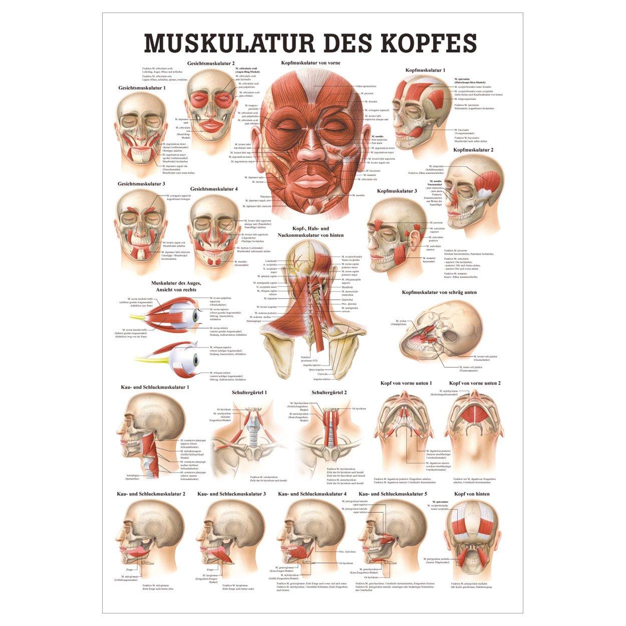 Fein Anatomie Von Kopf Und Nackenmuskulatur Fotos - Menschliche ...