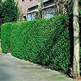 Ligustrum ovalifolium Siberian Privet Hedge - 10 Hedge Plants