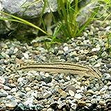 【生体】スジシマドジョウ(1匹)/どじょう 約4cm~5cm前後 生体 川魚