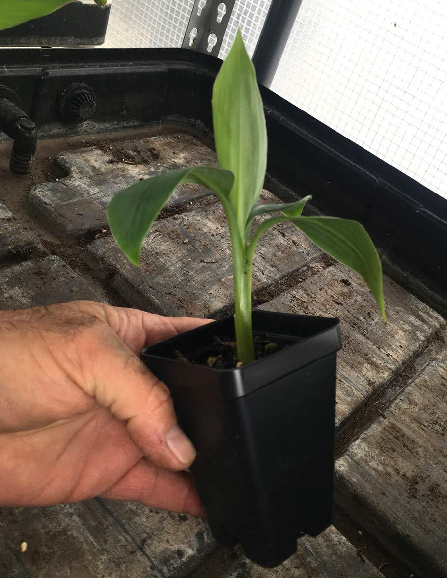 Grand Nain Chiquita Banana Tree - Live Dwarf Banana Plant by Bountiful Garden Nursery