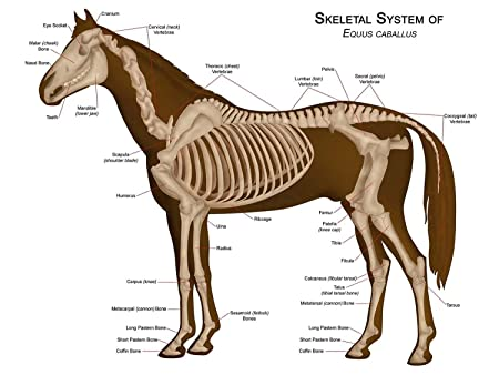 ANIMALS SKELETON BONES HORSE ANATOMY LARGE WALL ART PRINT POSTER ...