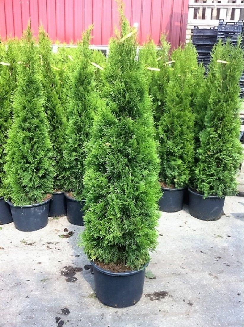 Zwei Große Lebensbäume Thuja occidentalis Smaragd im 10 Liter Container Gesamthöhe ca.160 cm.