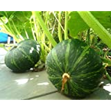 Japanese Pumpkin Kabocha Seeds - Open Pollinated, Heirloom,20 Seeds