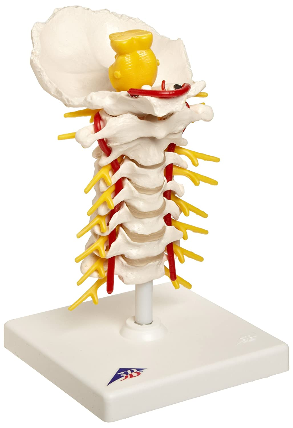 3b Scientific A72 Cervical Spinal Column Model With Stand 75