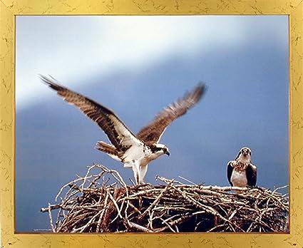 Amazon.com: Osprey Eagle (Seahawks) Birds Nest Animal Wall Decor ...