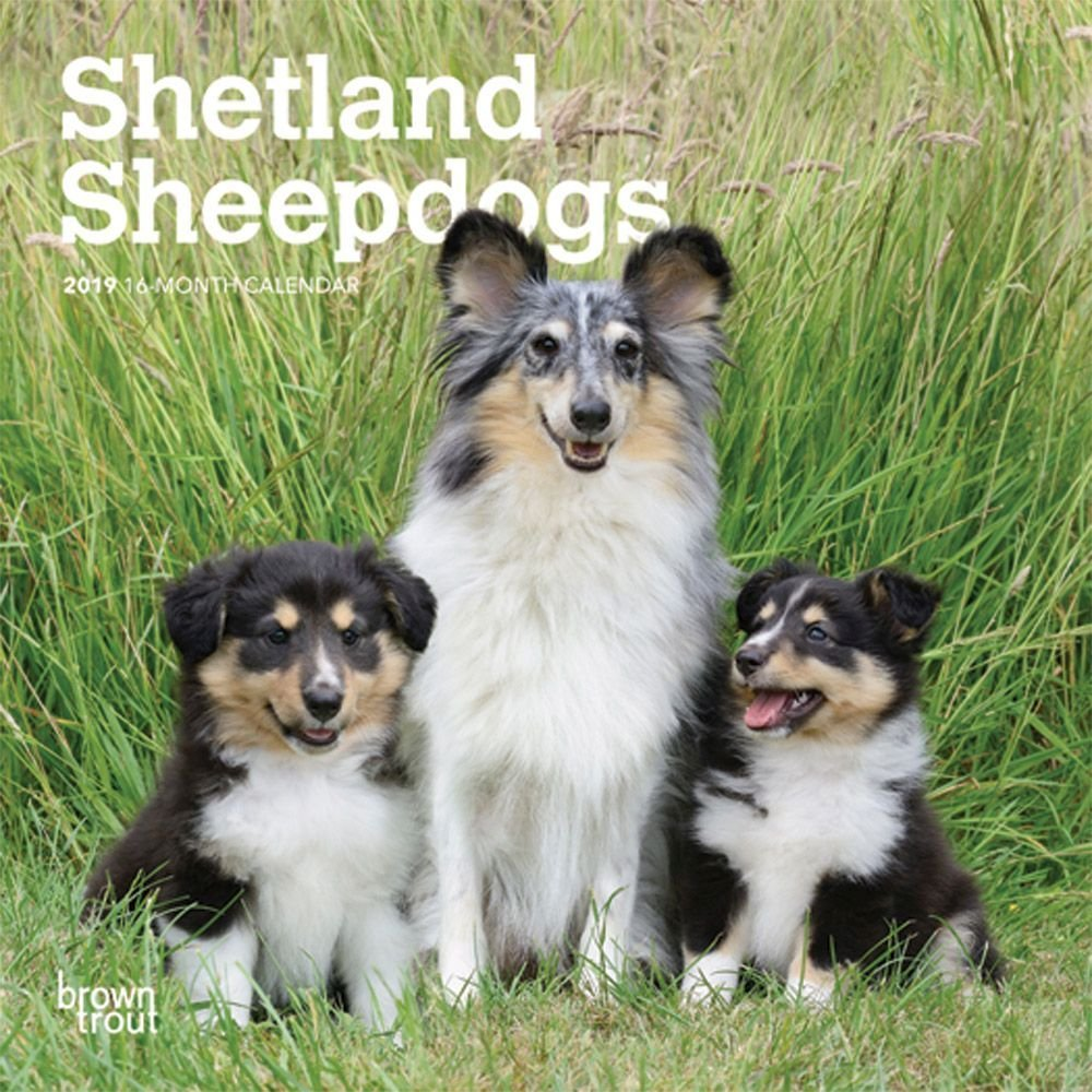 Amazoncom 2019 Shetland Sheepdog Puppies Mini Wall Calendar