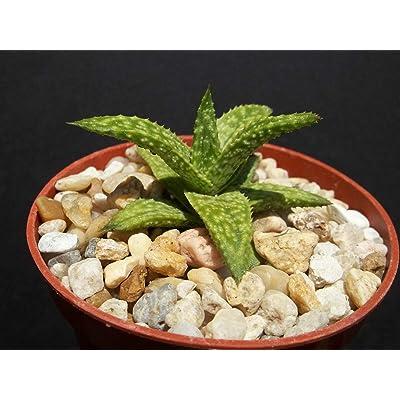 """4"""" Plant Pot Gasteraloe cv Helen Haage Exotic Aloe Rare Succulent Plant gasteria : Garden & Outdoor"""
