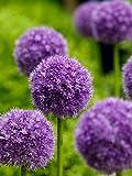 Giganteum Beautiful Flower Seeds 50 Pcs/Bag, Purple Giant Allium Garden Plant Gift
