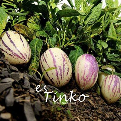 50pcs Pepino Seeds Solanum Muricatum Melon Pear Fruit & Vegetable Seeds : Garden & Outdoor