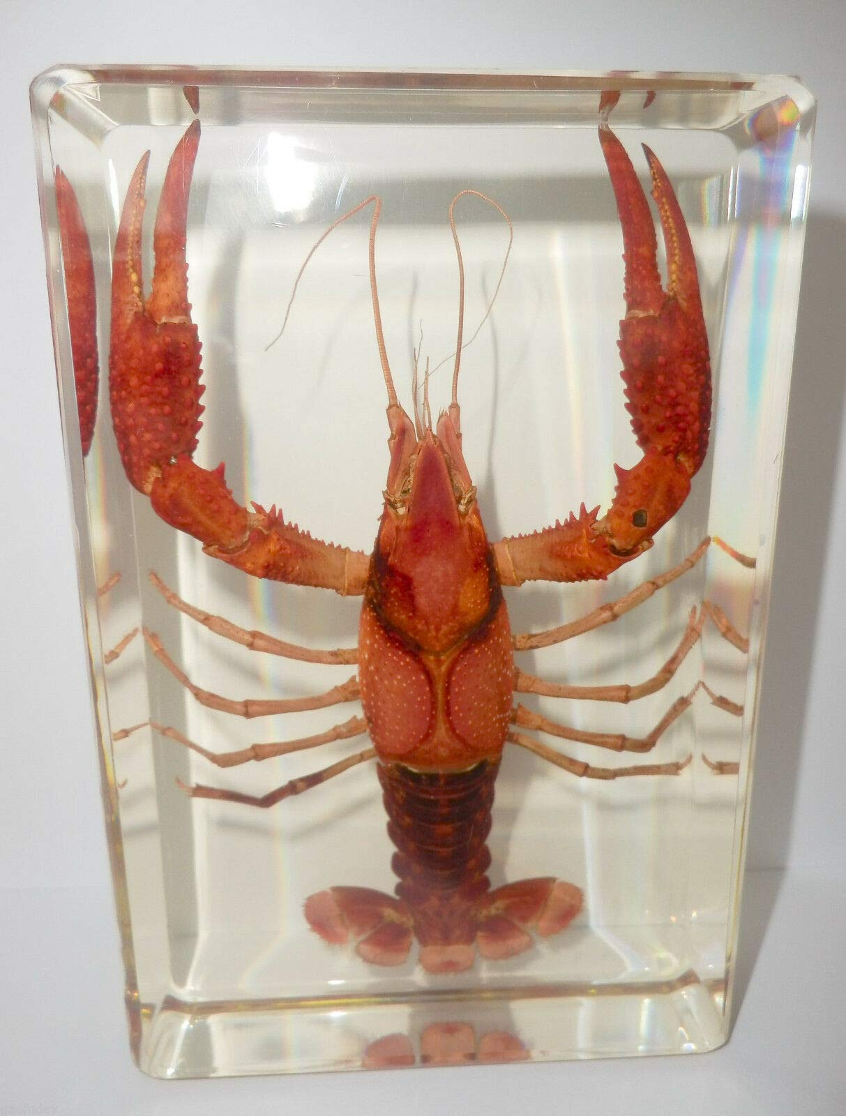 Siam Insects Large Red Lobster Freshwater Crayfish Clear Block Education Animal Specimen