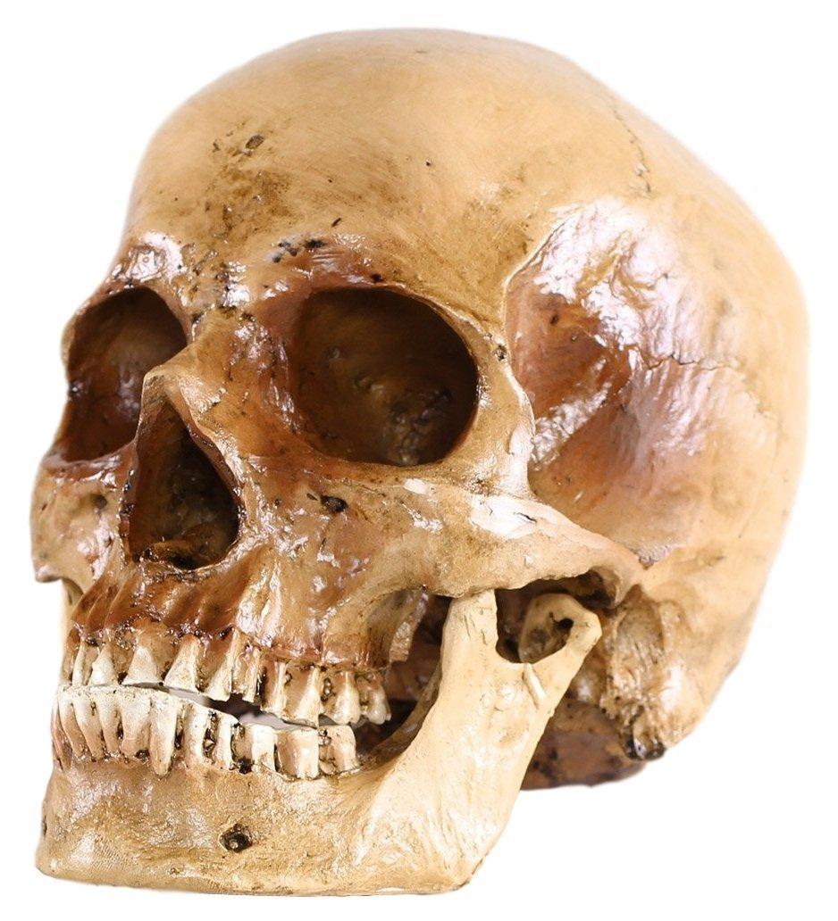 S24.5074 Cráneo humano, calavera, 2 piezas, de tamaño natural ...