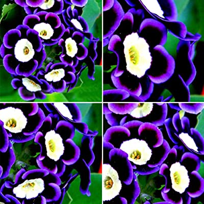 LOadSEcr's Garden 100 Pcs Tricolor Petunia Flower Seeds Non-GMO Ornamental Plants Yard Office Decoration, Open Pollinated Seeds : Garden & Outdoor