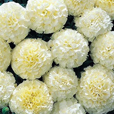 500 Marigold Seeds Snowball Marigold Seeds Heirloom Seed Non GMO Beautiful Plants Fragrant Garden Decoration Flowers : Garden & Outdoor