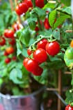 "50+ Heirloom Vegetable Seeds - Tomato - ""Tiny Tim"" It Grows Only One Foot Tall!"
