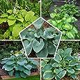 5 x Hosta Funkie PflanzCollection Mix | 5 variedades | grandes Funkien WinterHard Nacktwurzel Plantas/plantas de Holanda (sin semillas)