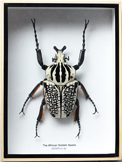 b2ac93166a0 Amazon.com: ThaiHonest REAL GIANT AFRICAN GOLIATH GOLIATHUS BEETLE MALE  INSECT TAXIDERMY SET IN BOX DISPLAY: Home & Kitchen