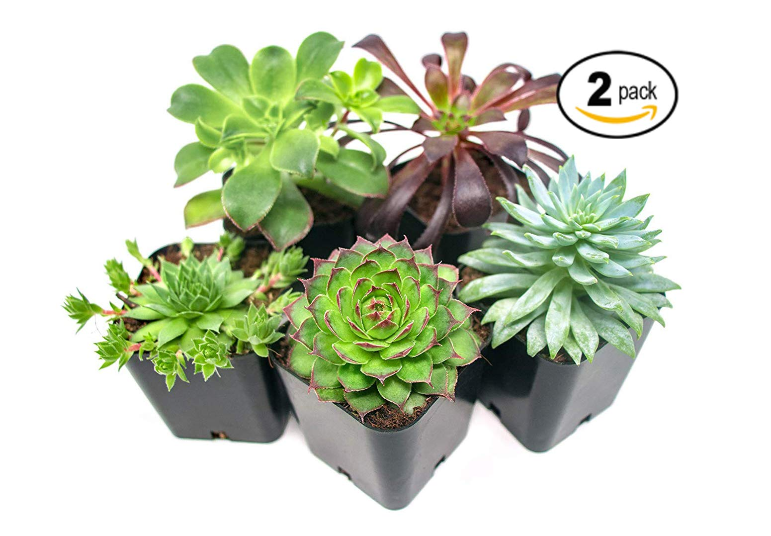 Succulent Plants (10 Pack), Fully Rooted in Planter Pots with Soil - Real Live Potted Succulents/Unique Indoor Cactus Decor by Plants for Pets