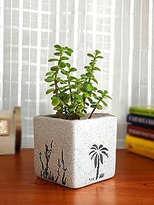 Rolling Nature Good Luck Jade Plant In White Square Aroez Ceramic Pot