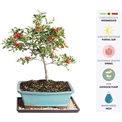 """Brussel's Live Dwarf Pyracantha Outdoor Bonsai Tree - 8 Years Old; 12"""" to 14"""" Tall with Decorative Container, Humidity Tray & Deco Rock: Garden & Outdoor"""