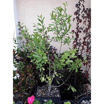 AchmadAnam - Live Plant - Yerba Mate (Ilex paraguariensis) - 1 Plant - 3 Feet Tall - Ship in 1 gal Pot. E9 : Garden & Outdoor