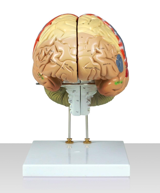 Vision Scientific VAB400 Color-Coded Human Regional Brain - 4 Parts ...