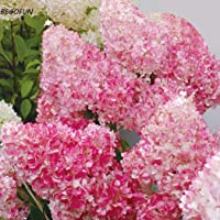 50pcs Sweet Alyssum Seeds Bonsai Plants Seeds Home Garden Outdoor b44g 01