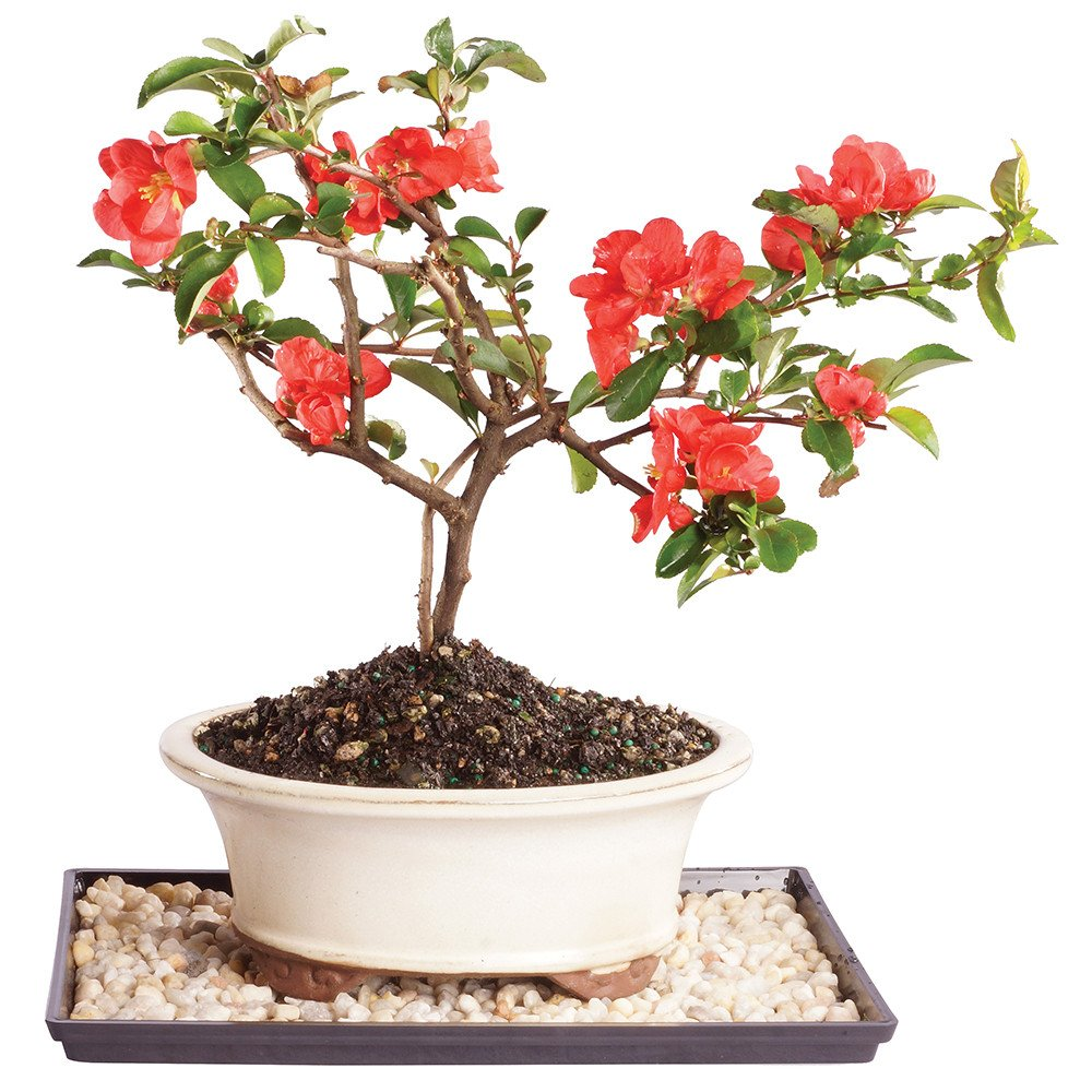Brussel's Live Red Quince Outdoor Bonsai Tree - 4 Years Old; 10'' to 12'' Tall with Decorative Container, Humidity Tray & Deco Rock