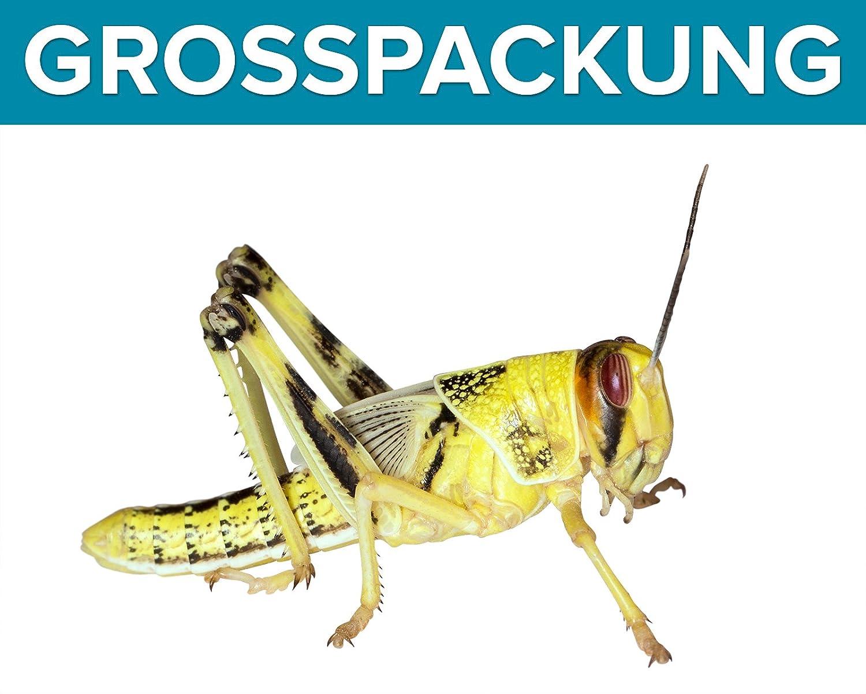 Heuschrecken 100 subadult Wüstenheuschrecken Futterinsekten Reptilienfutter Feeders & more
