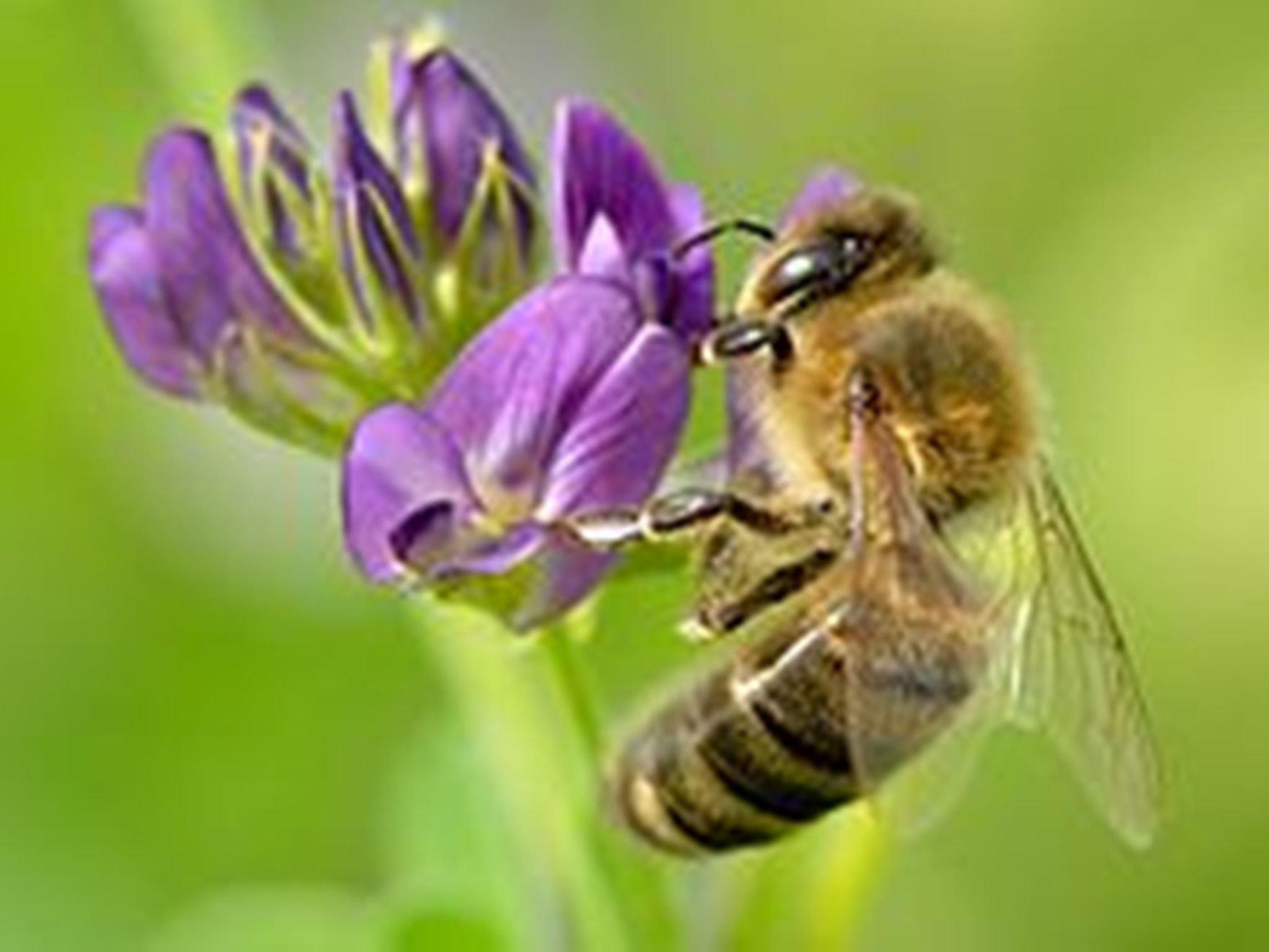 1 Lb ALFALFA SEEDS ORGANIC Seeds Non-GMO SuperFood (1 Lb)