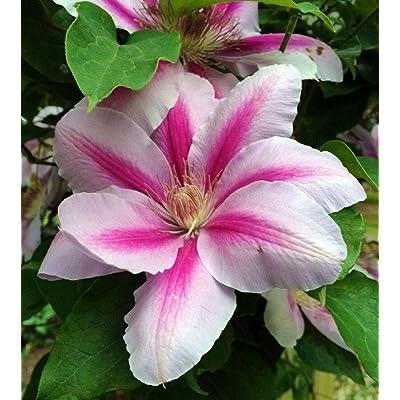 "AchmadAnam - 2.5"" Pot - Festival Clematis Vine - Compact Growth, Plant, Tree, Vine : Garden & Outdoor"