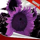 eroute66 100Pcs Rare Purple Sunflower Seeds Beautiful Flower Home Garden Plant