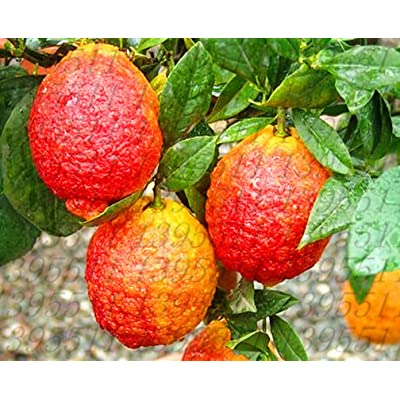 20 pcs/Bag red Lemon Tree Seeds Also is Blood Orange Organic Fruit Seeds Bonsai red Lime Seeds Healthy Food Home Garden Plant Pot : Garden & Outdoor
