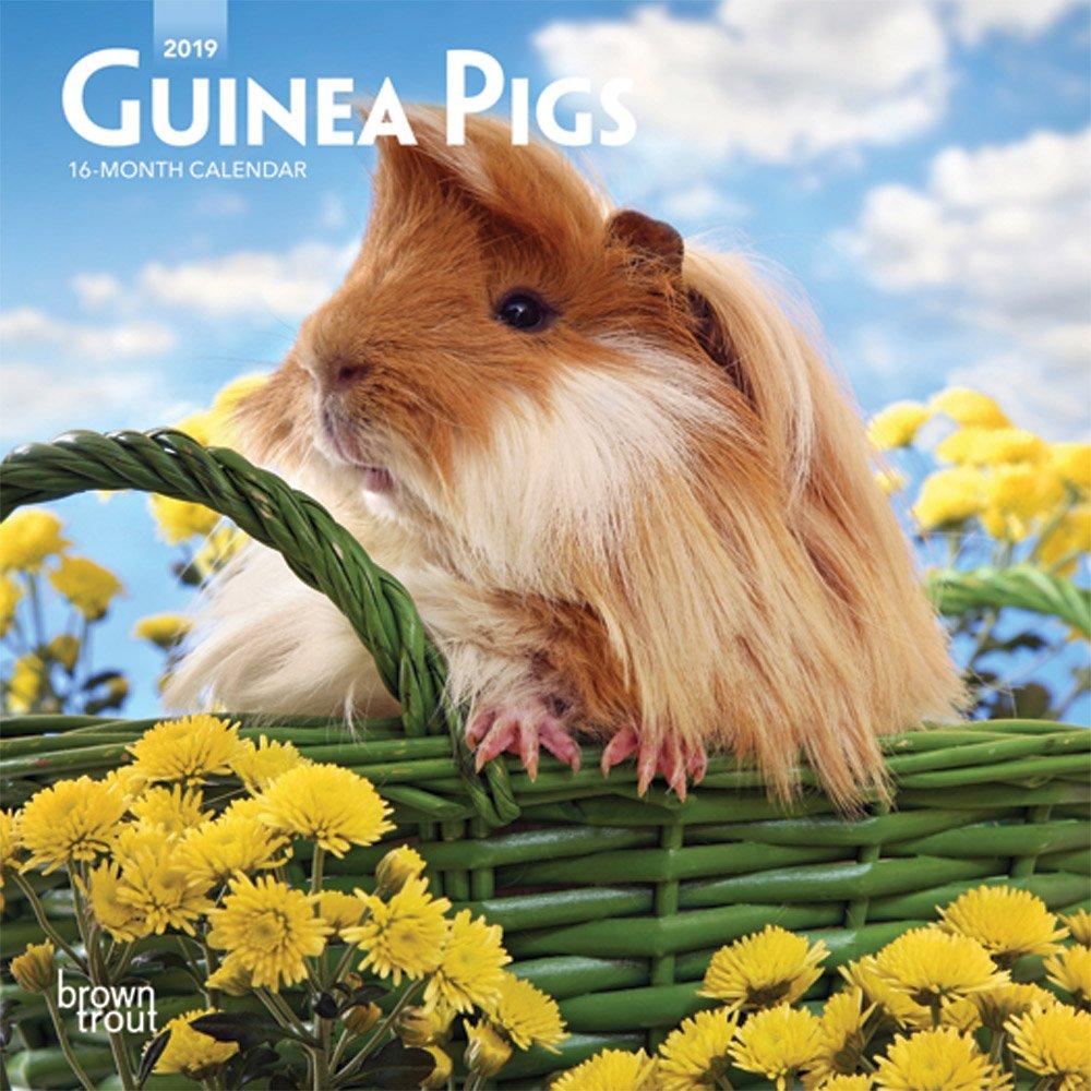 Guinea Pigs 2019 Mini Wall Calendar Calendar – Mini Calendar, Wall Calendar BrownTrout 1465075836 Animal Care Pets