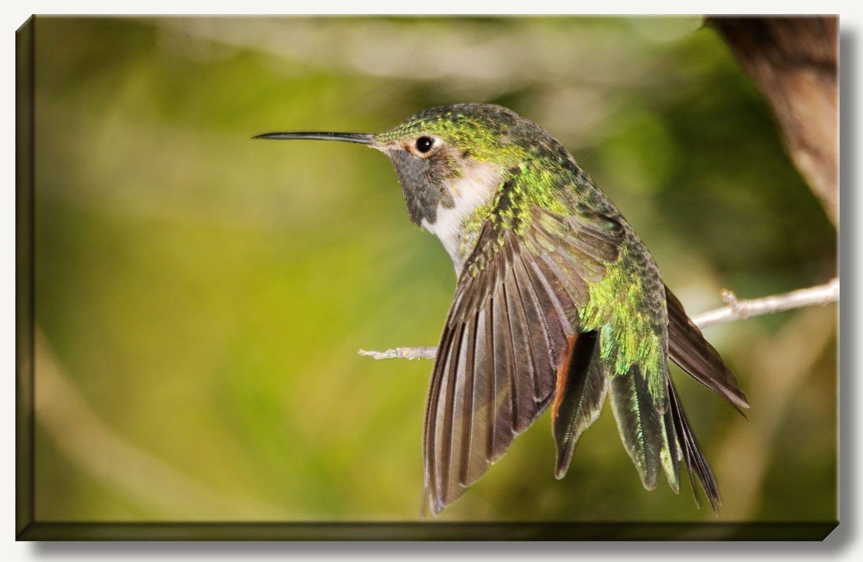 16 x 24 inch gallery wrapped canvas photograph of green hummingbird. Wildlife wall art bird gift.