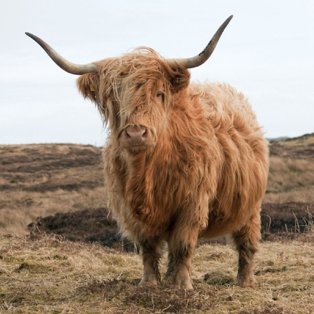 Highland Cow greeting card with sound inside Really Wild Cards RWUK6047