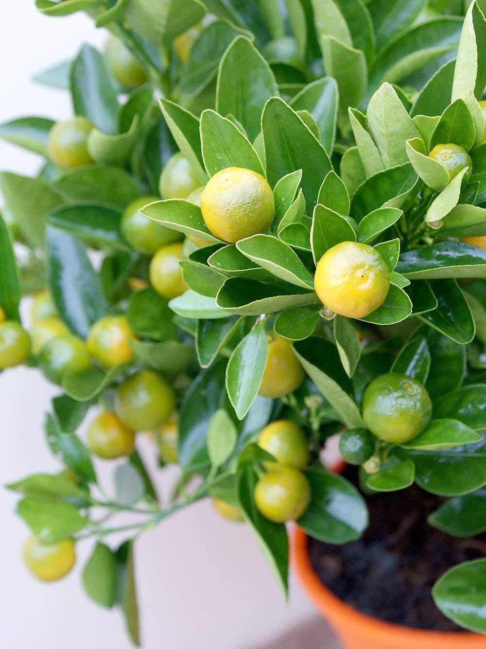IDEA HIGH Calamondin Tree (Miniature Orange) by HATCHMATIC (Image #2)