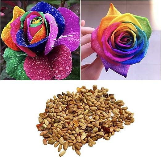 Yardwe 100 unids Semillas de Rosas Semillas huerto Semillas Flores jardín para Interiores o al Aire Libre para Plantas en Maceta Bonsai Home Garden Planting (Colorido): Amazon.es: Jardín
