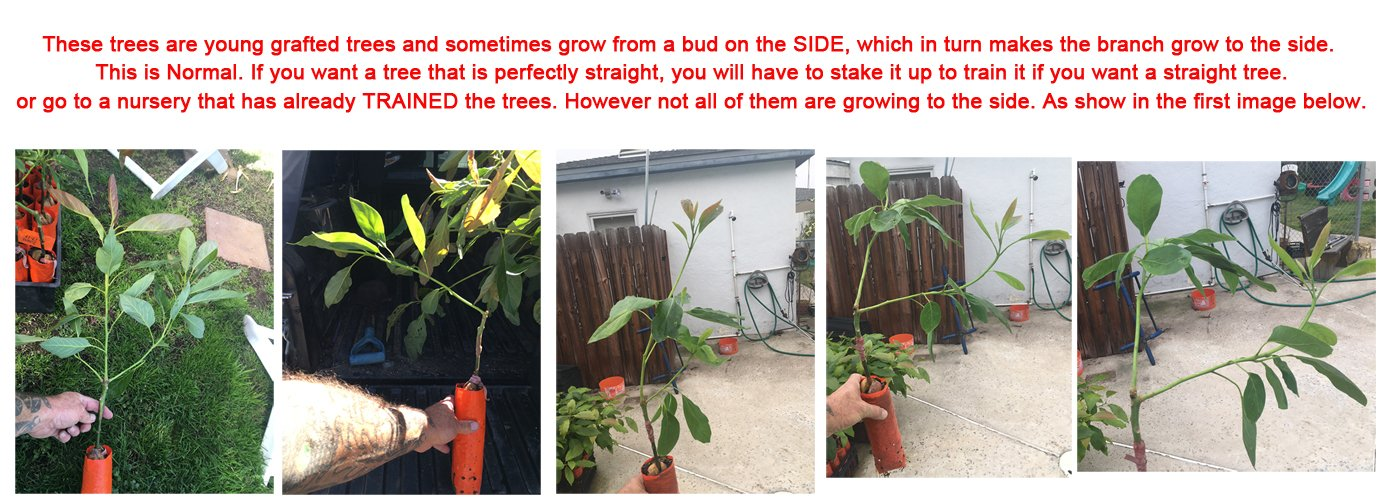 Hass Avocado Tree, Grafted - Live Avocado Tree by Unknown (Image #7)
