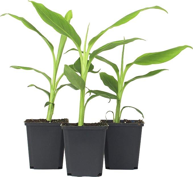 Inter flower - 3 x Resistente Musa Basjoo Plátano - acerca de 30 ...