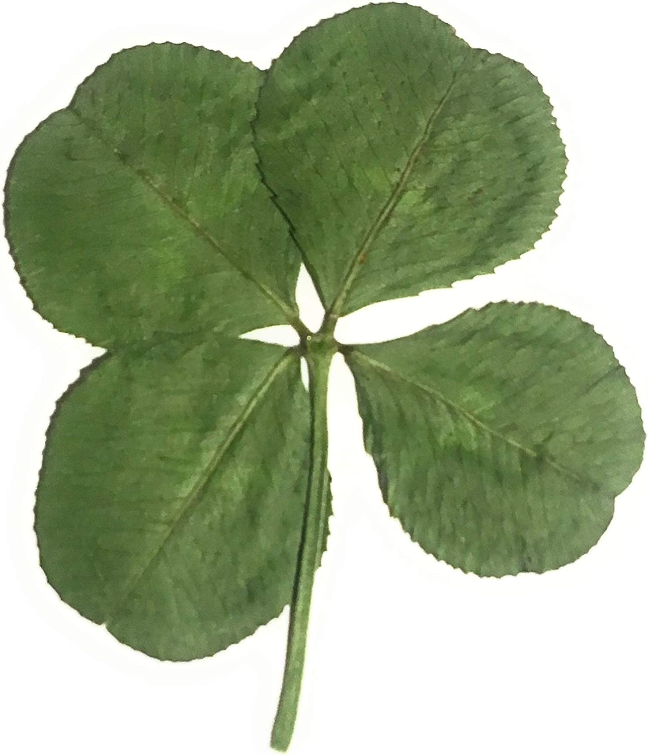 Amazon Com Real Pressed Four Leaf Clover Picked Dried