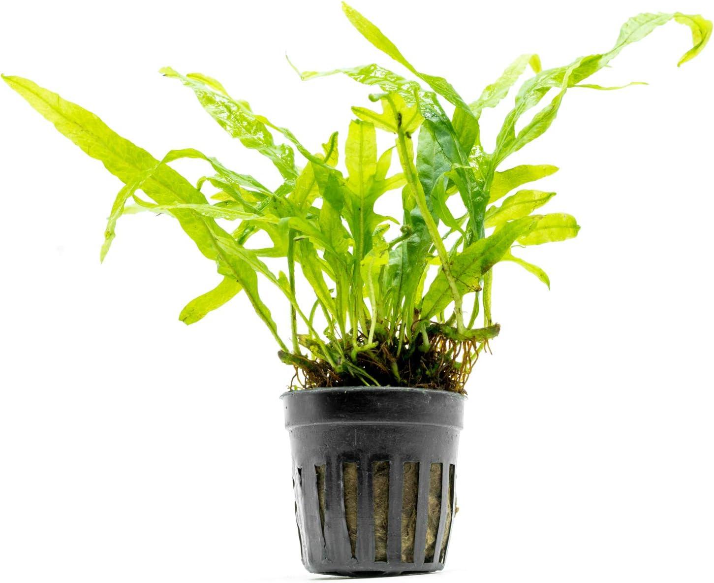 SubstrateSource Java Fern Trident Microsorum pteropus Live Aquarium Plant