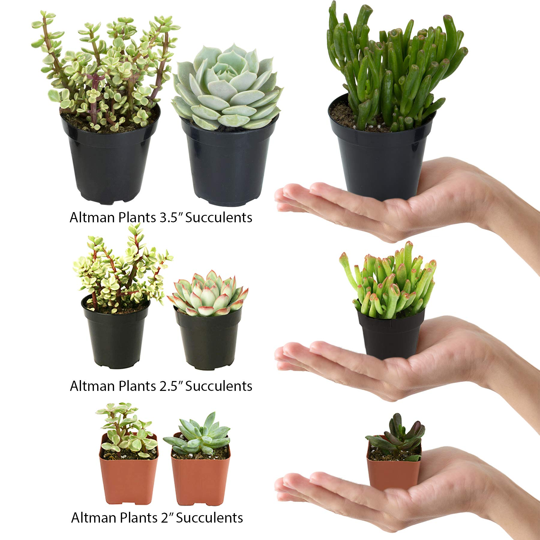 Altman Plants Assorted Live Succulents Desk Buddy Collection Easy care plants for Indoor, Office, Kitchen, 2.5'', 12 Pack by Altman Plants (Image #2)