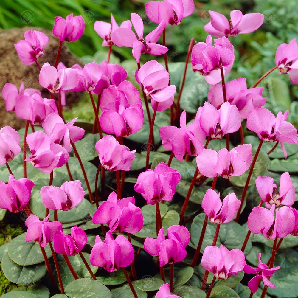 5 Bulbs Cyclamen Coum Early Spring Flowering Garden Bulbs