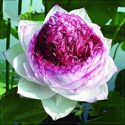 Amazon best garden seeds rare nelumbo nucifera imported lotus best garden seeds rare nelumbo nucifera imported lotus flower seeds 2 seeds big blooms mightylinksfo