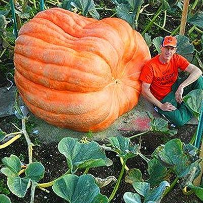 Feriay 20pcs/Bag Halloween Giant Pumpkin Seeds Organic Vegetable Seeds Home Garden Flowers: Clothing