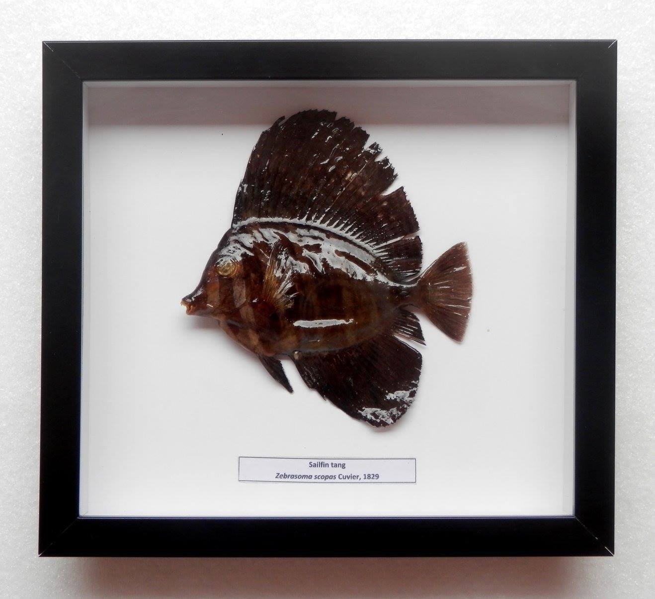 05077 Real Frame Fish Taxidermy Twotone tang - Zebrasoma scopas